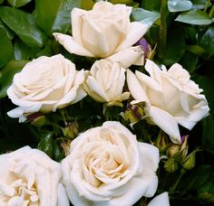 Розмір квітки, відкритий: 8 - 10 см аромат: * Висота: 50 см - 80 Рослини за кв.м .: 6 - 8 Відстань Посадка: 35 - 40 см Опір цвілі:*** Опір чорний плями:** клімат:*** цвіт: ремонтантний Колір: білий