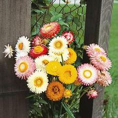 Helichrysum Double Mixed Colors