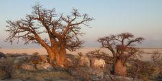 Hai mai sentito parlare del frutto del Baobab e delle sue eccelse proprietà? Se la risposta è no, allora oggi le conosceremo insieme...