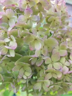 Easy Care for Beautiful Hydrangeas ~ Gwin Gal Inside and Out Hydrangea Care, Pink Hydrangea, Hydrangeas, Tall Plants, Garden Care, Growing Flowers, Green Flowers, Clematis, Garden Styles