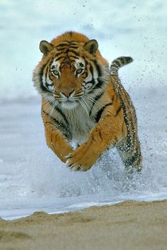 magicalnaturetour: Charging Tiger by G. R. Guy
