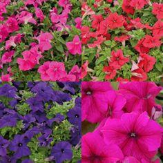 Kit de 4 petits pétunias pour massifs coloris variés Kit, Plants, Plant, Planets