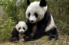 Here are some fun, interesting panda facts! The panda's diet is Bamboo, pandas do not hibernate, a baby panda cub is the size of a croissant when born, however pandas are facing extinction. Niedlicher Panda, Cute Panda, Happy Panda, Big Panda, Mother And Baby Animals, Cute Baby Animals, Fluffy Animals, Large Animals, Wild Animals
