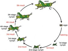 Insects and Their Life Cycle By echezabalperiod2 - as well as the bug Grass Hopper 's  Relatives an anatomy