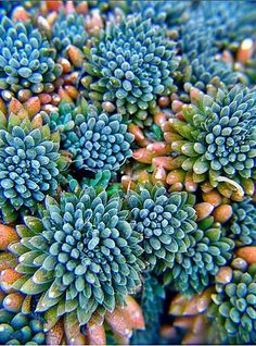Colours I like of succulents   Sedum indicum: