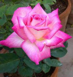 """Dianthus Superbus /""""Rainbow beauté/' 100 graines-Jardin de Roses"""