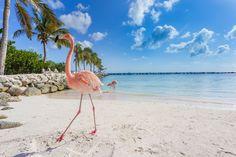 Spot flamingos in Aruba