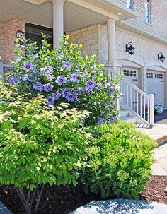 AM Dolce Vita: Summer Garden Rose of Sharon Blue Satin in full bloom Summer Garden, Home And Garden, Rose Of Sharon, Satin Roses, Summer Heat, Blue Satin, Flower Beds, Beautiful Gardens, Bloom