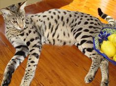 The Savannah Cat Club is an International Association for anyone interested in learning and exchanging information on all things related to the Savannah cat.