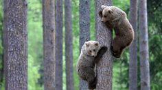 Bear Cubs Tree Climbing