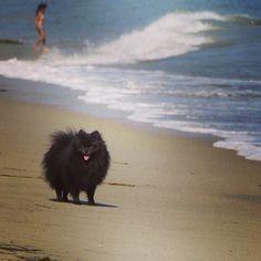 black pomeranian smile beach