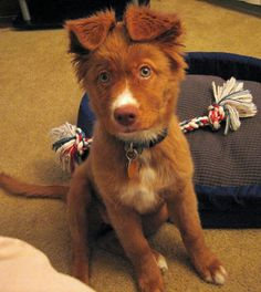 Abbie the Duck Tolling Retriever