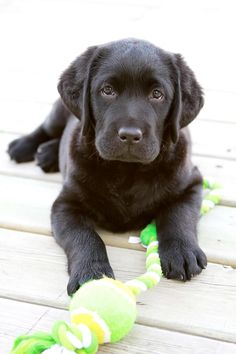 Black Labs Puppy Dogs Hound Pups Hunting Puppies Labrador Retriever Lab