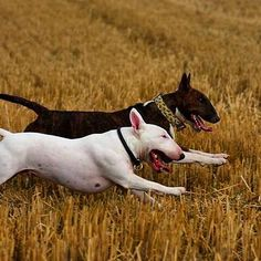 Best Dog Breeds, Best Dogs, Bull Terrier Funny, Miniature Bull Terrier, Bully Dog, Terrier Breeds, English Bull Terriers, Kawaii, Beautiful Dogs