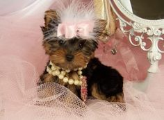 Cute baby :) Teacup Yorkie, Yorkshire Terrier Dog, Terrier Dogs, Cute Babies, Teddy Bear, Animals, Baby, Animales, Animaux