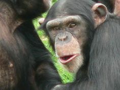 Ninety-six percent of a chimpanzee's genome is the same as a human's. It's the other 4 percent, and the vast differences, that pique the interest of Georgia Tech's Soojin Yi. For instance, why do humans have a high risk of cancer, even though chimps rarely develop the disease?