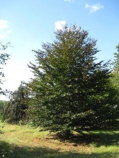 Fagus sylvatica 'Purpurea':  Deer Resistant European copper beech is a large deciduous tree with a dense, upright-oval to rounded-spreading crown.