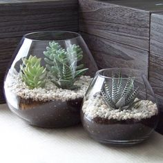 Indoor succulents with rocks