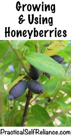 How to Grow Honeyberries Haskap Berries Hardy to zone 2 and tolerant of poor soils honeyberries are a great choice northern gardeners Theyre the earliest ripening fruit. Fruit Garden, Edible Garden, Edible Plants, Organic Vegetables, Growing Vegetables, Organic Herbs, Organic Fruit, Types Of Fruit, Organic Gardening Tips