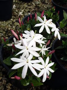 Starry wild jasmine (Jasminum multipartitum). This indigenous 2-3m tall climber bears masses of sweetly scented starry blooms in late spring and summer. This evergreen can also be used as a large spreading shrub. It tolerates mild frost.