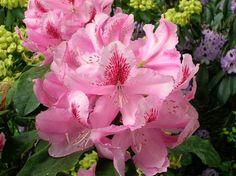 Rododendron L