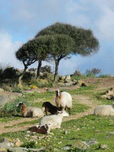Pecore nella campagna sarda - Schafe in der sardischen Landschaft - Sheep in the sardinian landscape