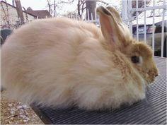 An angora rabbit breeder in Arizona, seems to be especially French Angora Rabbits French Angora Rabbit, Wool Mats, Types Of Fibres, Raising Rabbits, Bunny Rabbit, Needle Felting, Fiber Art, Bunnies