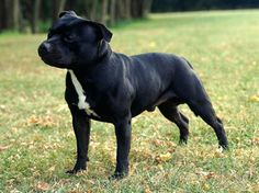 Google Image Result for http://stuffpoint.com/staffordshire-bull-terrier/image/43647-staffordshire-bull-terrier-staffy9.jpg