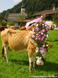 Almabtrieb in Sachrang - eine festlich geschmückte Kuh. Sachrang - The summer is over and the cows, decorated with flower crowns, are brought down from the Alpine pasture.