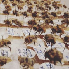 Someone was a busy bee.  Mid century natural history cases filled  with bees!  #naturalhistory #apiary #beekeeping #fuckinghot #honey #honeyb #colony