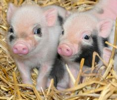 Wary looking piglets