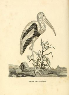 White Headed Ibis. Indian zoology London :Printed by Henry Hughs, for Robert Faulder,1790. Biodiversitylibrary. Biodivlibrary. BHL. Biodiversity Heritage Library