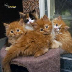 Red Heads!   Maine Coon Kittens