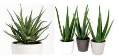 aloes Cactus Plants, Garden, Balcony, Garten, Cacti, Lawn And Garden, Cactus, Gardens, Gardening