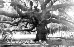 The largest Live oak tree in Florida - South Jacksonville. Vintage Florida, Old Florida, State Of Florida, Live Oak Trees, Florida Gardening, Jacksonville Florida, Historical Romance, Amusement Park, Southern Style