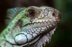 Free Image on Pixabay - Lizard, Reptile, Animal, Creature Free Images, Snake Images, High Quality Images, Reptiles, Find Image, Creatures, Animals, Animaux, Animales