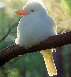 Albino animals are very rare in nature, and man has long had a fascination for these creatures since ancient times. Amazing Animals, Cute Animals, Rare Albino Animals, Melanism, Rare Species, Mundo Animal, Beautiful Birds, Beautiful Creatures, Pet Birds