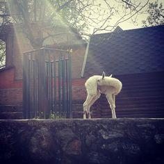 """""""Paisana"""" in Belgrade zoo  #llama #belgrade #zoo #serbia #whitellama #halo"""