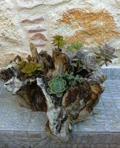 Succulents in olive root