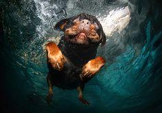 A-rottweiler-swims-around-026