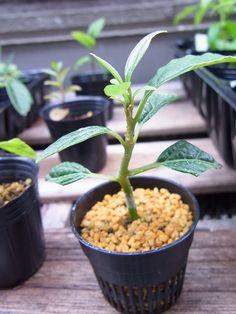 Cloning Avocado Bonsai