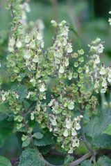 Just Seed - British Wild Flower - Wood Sage -Teucrium scorodonia - 750 Seed by Just Seed, http://www.amazon.co.uk/dp/B00AQTNKK2/ref=cm_sw_r_pi_dp_wcgyrb05SKSPE