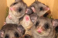 Endangered Mountain Pygmy Possums Born   IFLScience - Mountain pygmy possums (Burramys parvus) are Australia's only hibernating marsupial. There are less than 2,000 left in the wild, and with populations restricted to three widely separated districts in the Great Dividing Range inbreeding is a threat.