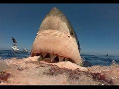 O Tubarão Branco - Um Super-Predador