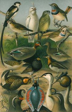 Chromolithograph of birds during the mating season, printed by the Bibliographisches Institut in Leipzig, Germany, 1920s