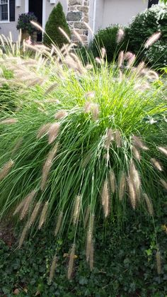 Fountain Grass - Species. This gets to be about 3 to 4 feet tall ad wide. I love it! See more great grasses. http://www.landscape-design-advice.com/ornamental-grass.html