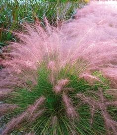Cotton Candy Grass - Withstands heat, humidity, poor soil and even drought. Very easy to grow, it reaches a mature height of 3-4 feet tall and gets 3-4 feet wide. Grows in all U.S zones.