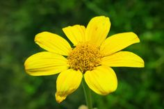 Flower of Nicaragua