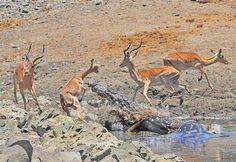 'n Reuse-krokodil wat homself in die dam by die Sweni-uitkykpunt in die Krugerwildtuin tuisgemaak het, probeer vergeefs 'n rooibok vang.