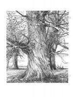 Sweet chestnut, p188 from The New Sylva. Drawing by Sarah Simblet